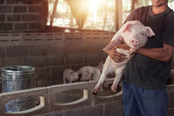 cannabis, medical cannabis, recreational cannabis, farming, pig farms, agriculture, Canada, USA, legalization, weight gain, meat, meat consumption