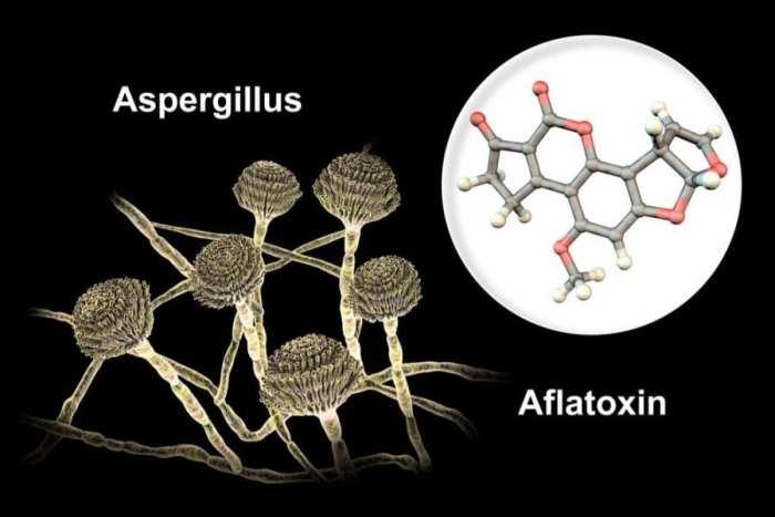 Aspergillus, mold, cannabis, medical cannabis, recreational cannabis, cannabis grows, contamination, fungus, health risks, legalization, mycotoxins, aflatoxin