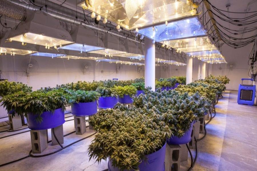 strains, cannabis, medical cannabis, cannabis strains, recreational cannabis, CBD, THC, cannabinoids, terpenes, pain, pain relief, pain management, cultivators