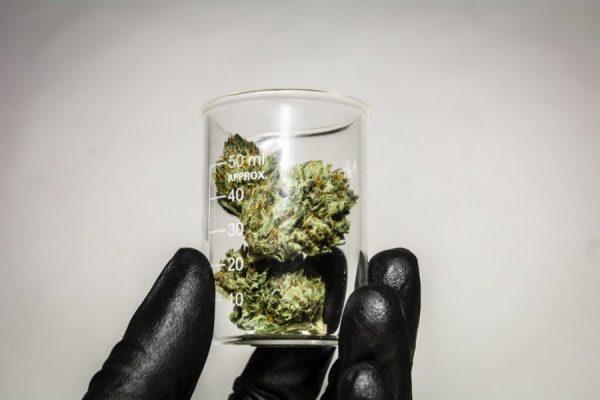 cannabis, medical cannabis, health benefits, CBD, CBG, THCV, THC, entourage meaning, entourage effect, terpenes, health risks