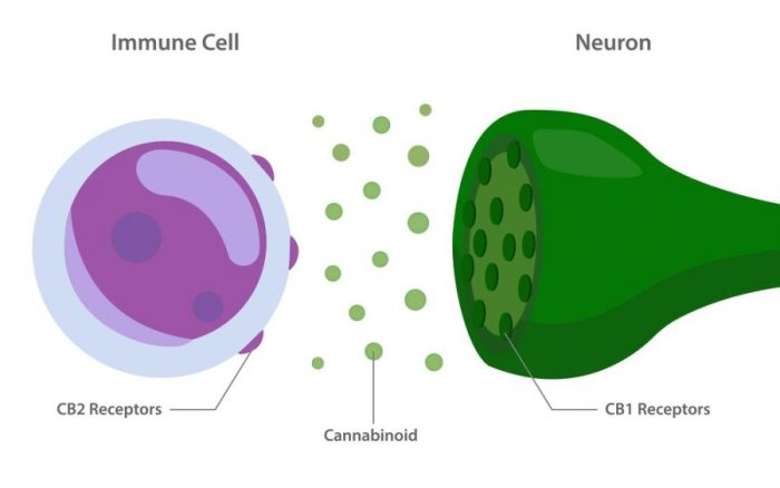 cannabis, inflammation, chronic inflammation, heart disease, cannabinoids, CBD, THC, endocannabinoid system, weight gain