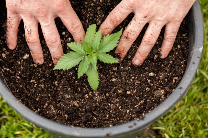how to grow cannabis from seeds, regulations, laws, medical cannabis, medical cannabis patient, patient, grow your own