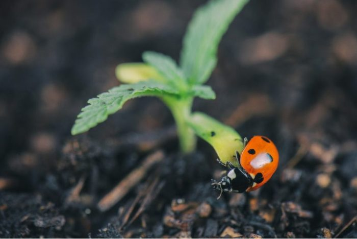 pests, pesticides, cannabis, cannabis plants, outdoor grows, grow ops, ladybugs