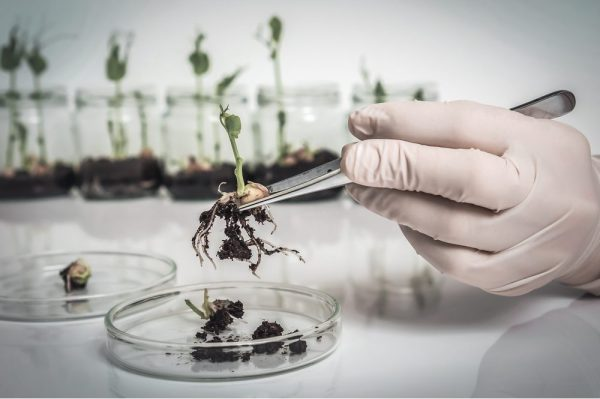 GMO strain