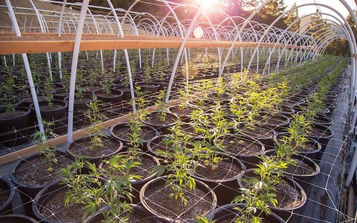trellis cannabis