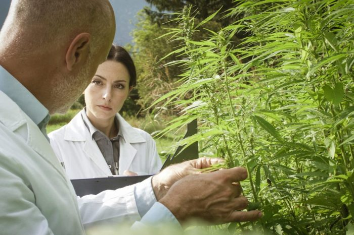 scientists examining cannabis plants