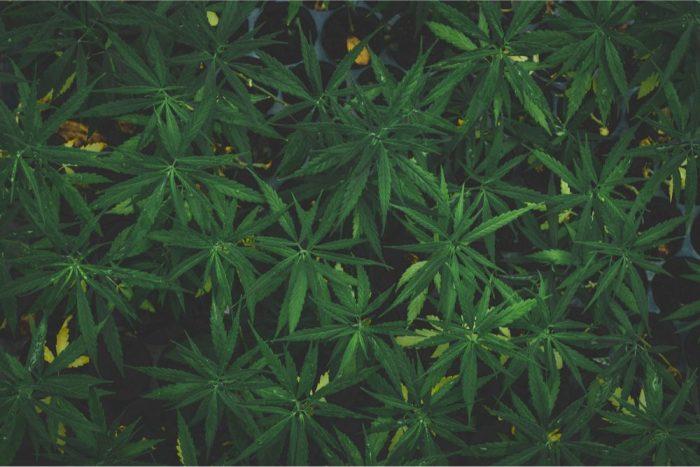 cannabis sativa growing