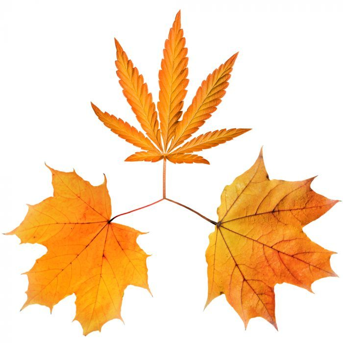 maple leaves and cannabis leaf