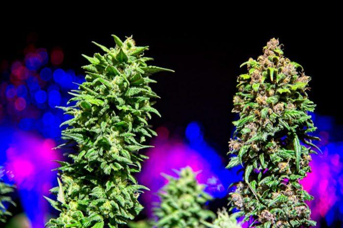 cbd e thc juntos em plantas de cannabis
