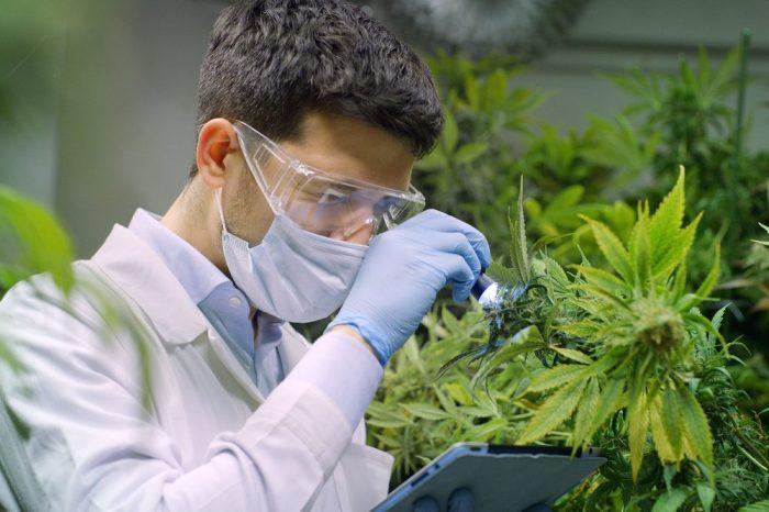 cbd e thc juntos sob análise de cientista com planta de cannabis