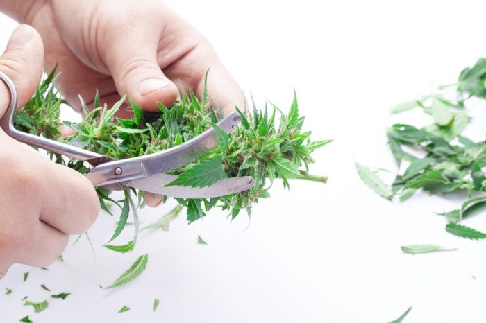 THCa vs THC represented by person trimming fresh cannabis