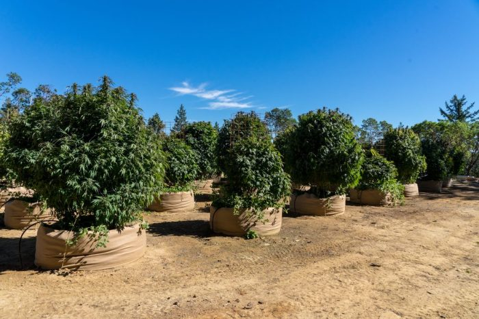 effects of climate change represented by cannabis plants in a lot of arid looking soil