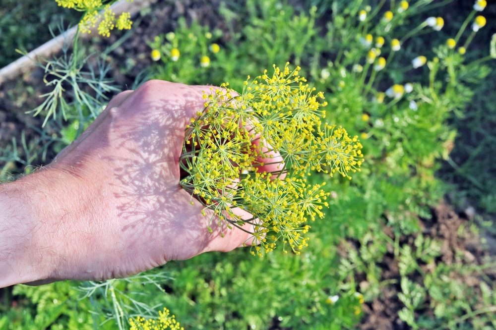 fenchone heavy fennel plant in person's hand