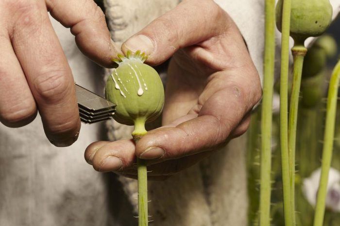 opioid receptors would work with the opioid gum this farmer is collecting from opium poppies