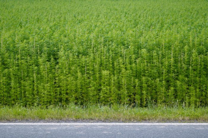 why hemp is bad represented by large hemp field
