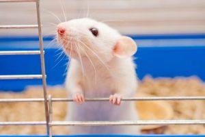 animal testing represented by cute rat