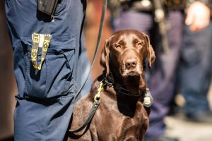 drug sniffing dogs like this chocolate lab can find happiness in retirement