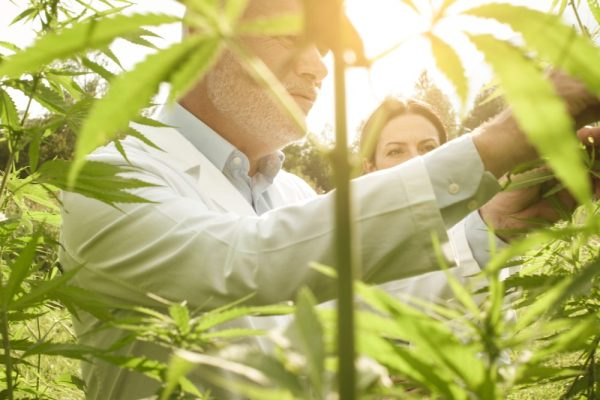 researchers doing quality control on cannabis plants