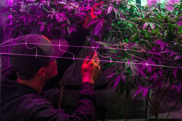 carbon filter could help keep out the smell of indoor cannabis plants like these