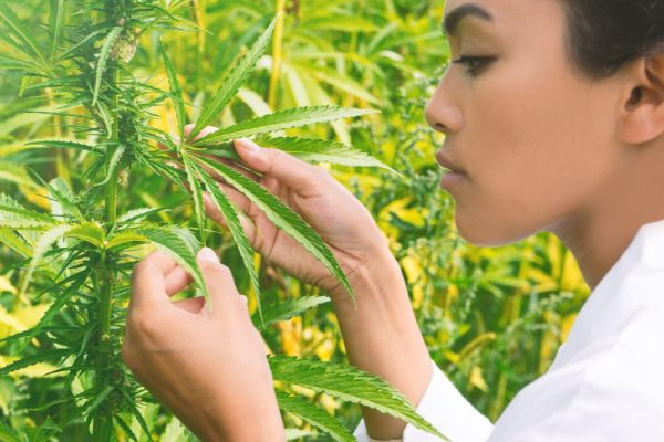 Quality Control for Cannabis represented by lab coated asian woman inspecting cannabis plants