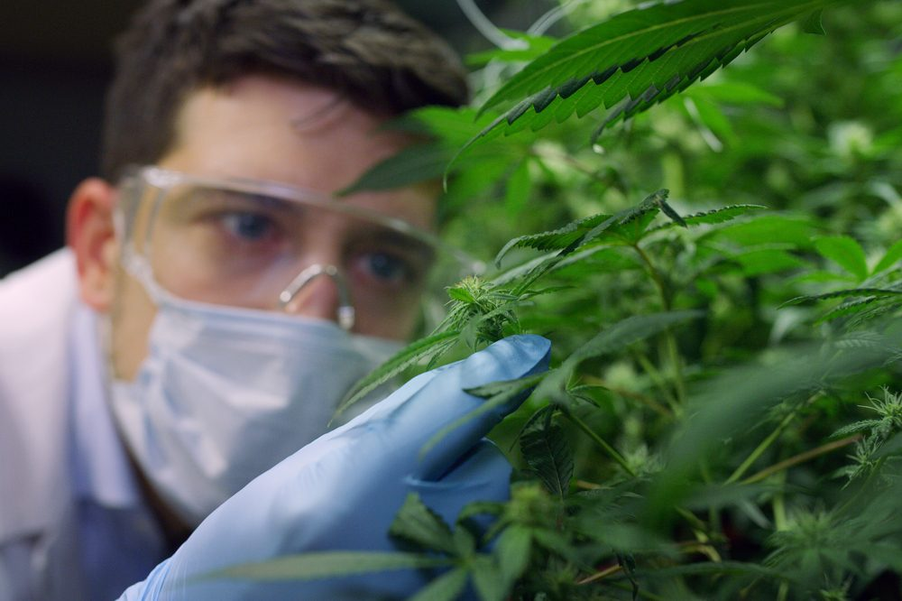 pharmaceutical cbd producer and scientist looking at plants