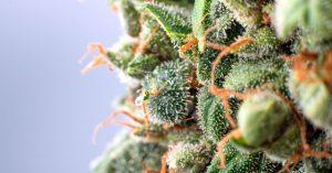 cheese close up trichomes cannabis