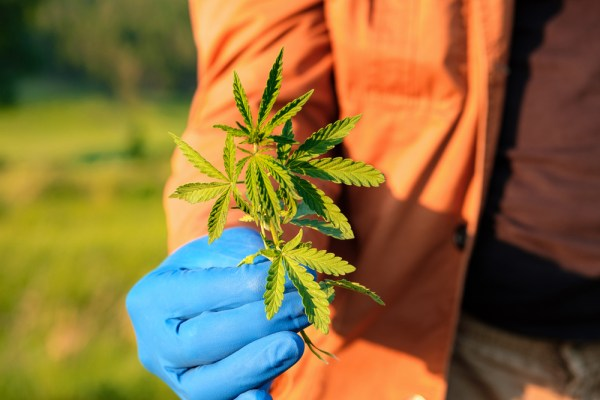 speed up legalization represented by gloved hand holding cannabis leaf