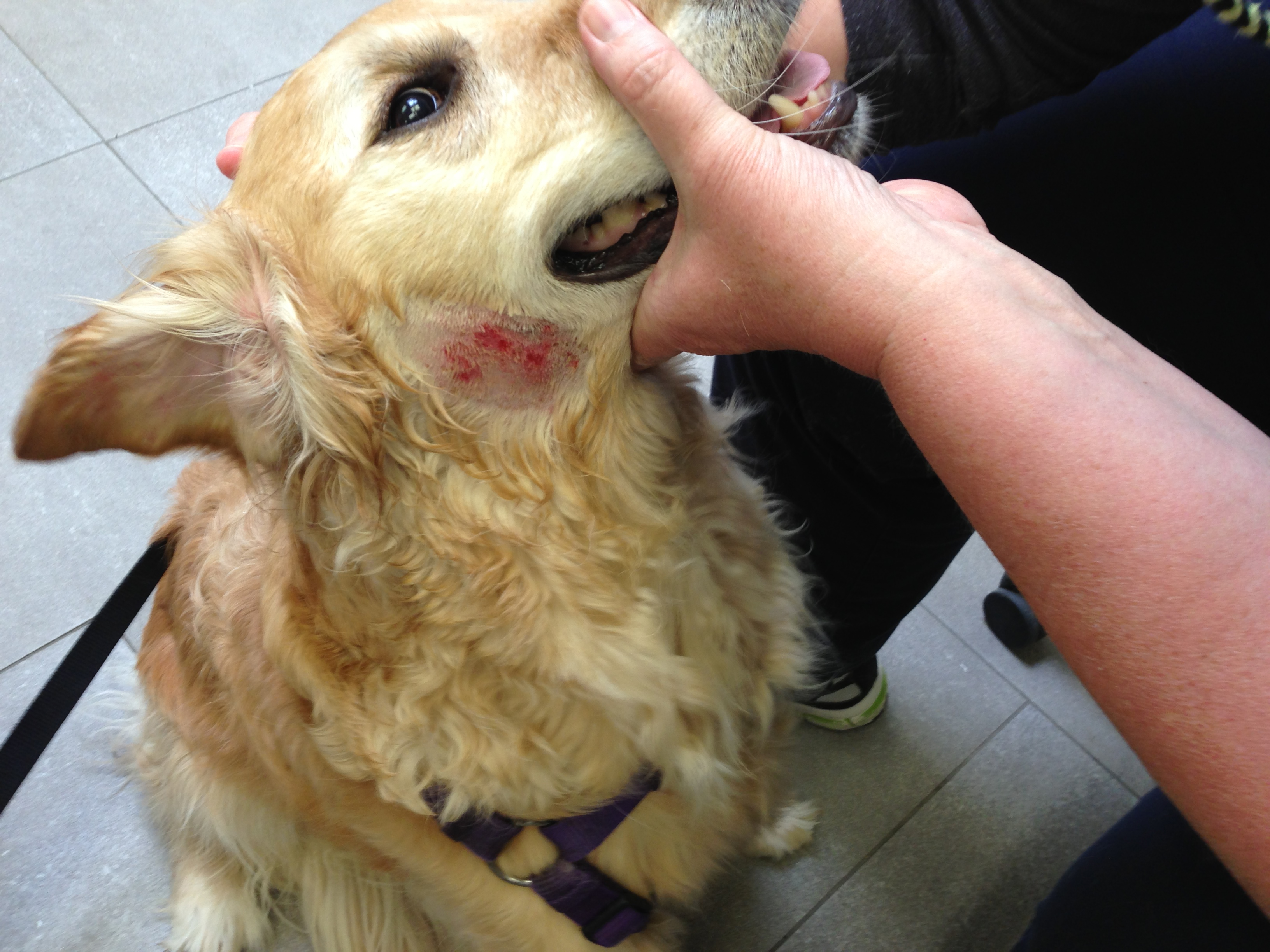Golden Retriever And Allergies