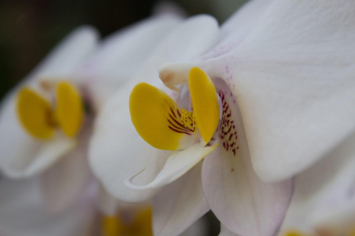 Orchids at the Missouri Botanical Garden