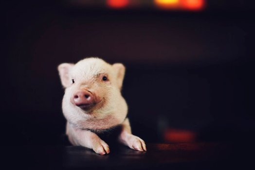 Whiskey Piggy