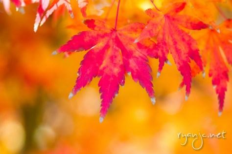 Orange Dream Japanese Maple, Dallas Arboretum - Dallas, TX