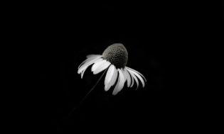 death-daisy