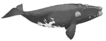 Balena Franca
