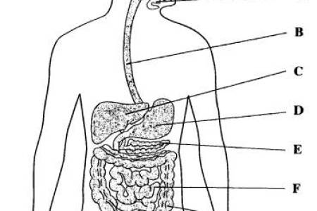 Human digestive system drawing full hd pictures 4k ultra full system draw with pencil pencil sketch diagram of human digestive system draw with pencil pencil sketch digestive system draw the diagram digestive ccuart Images