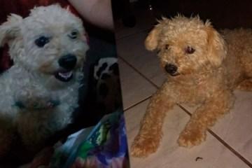 Jovem encontra cachorrinha Poodle perdida na PE-320