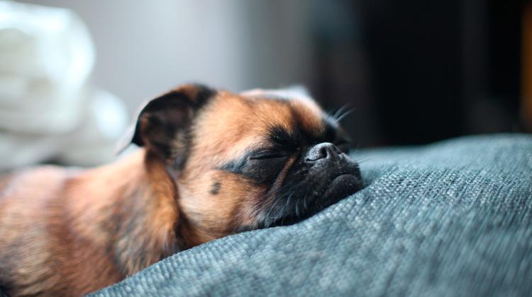 Com o que os cachorros sonham?