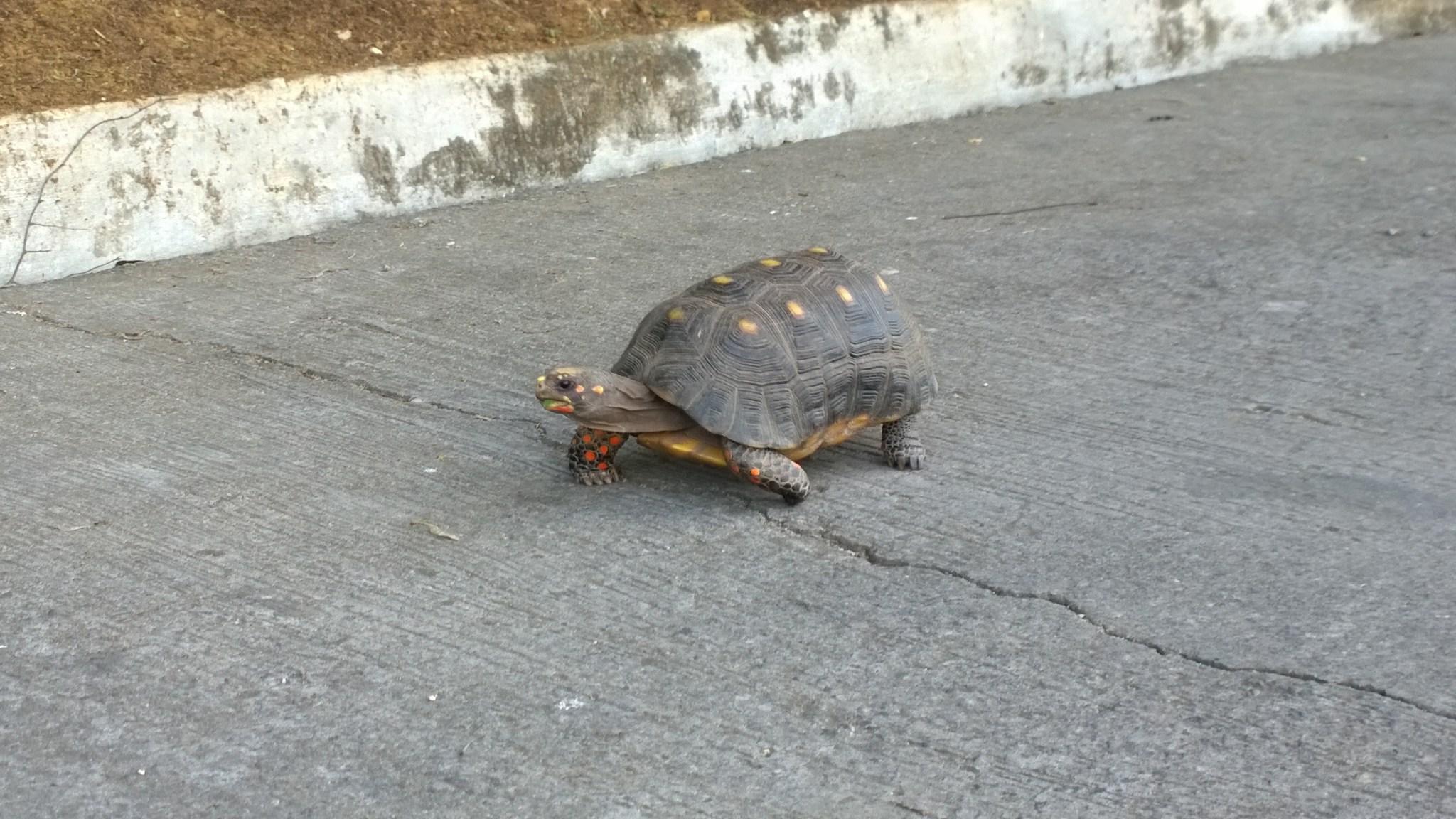 Ensimmäinen näkemäni kilpikonna!!! En olisi kyllä etukäteen uskonut, että se kävelee rehvakkaasti vastaan kylän raitilla. Odotin näkeväni sen vähän merellisemmissä oloissa.