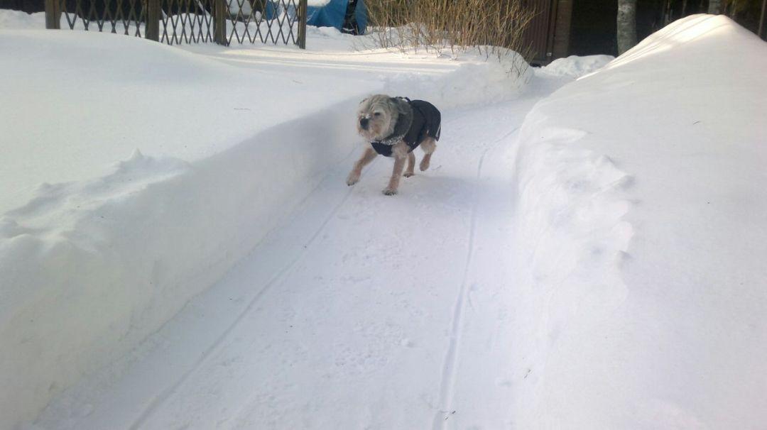 Vielä talvella vanhalla herralla oli vauhti päällä!