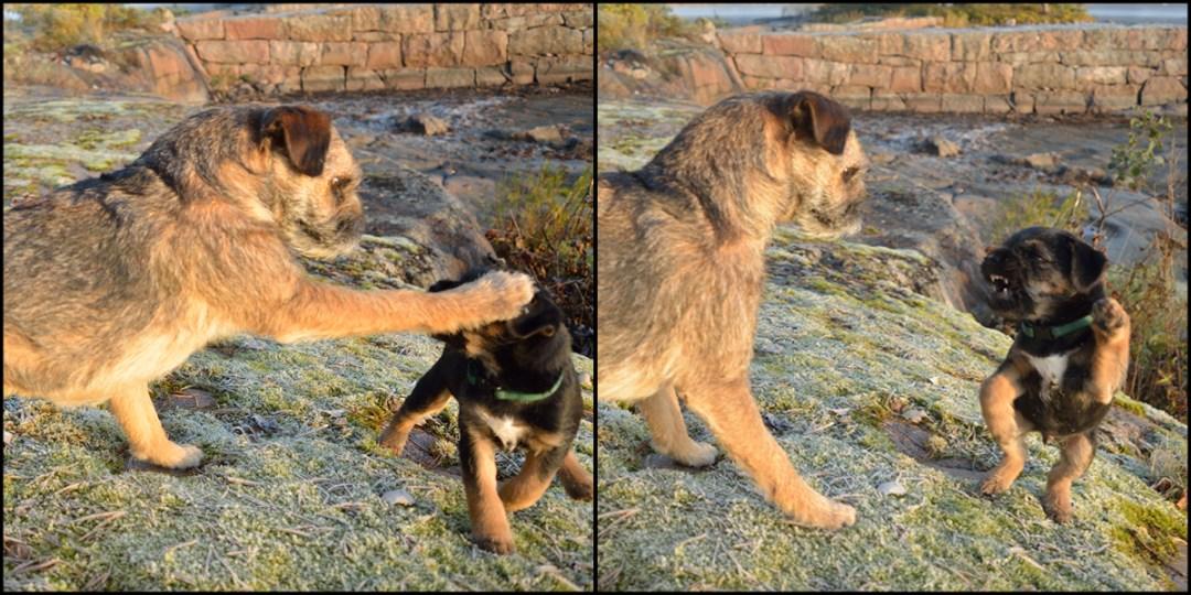 Pipo ja pikkupoika aloittavat leikin. Pipo länttää poikaa tassulla naamaan ja takaisin tulee vähintään yhtä kovalla asenteella!