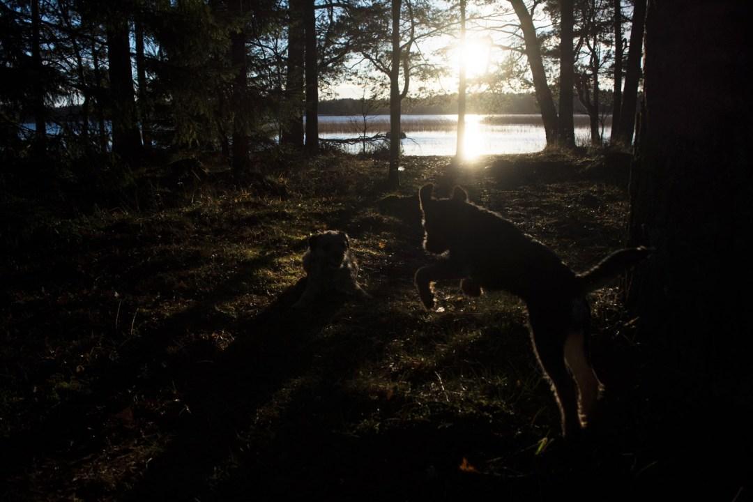 Musta pantteri hyökkää... Koirilla oli hurjat Joulu-tsembalot.