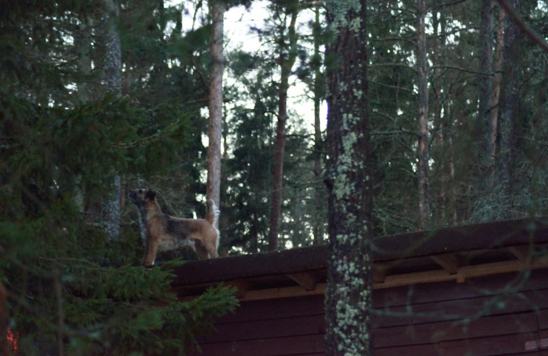 Pipo kiipesi varaston katolle päästäkseen lähemmäs isoja kuusia. Olisikohan oravat kiikarissa?