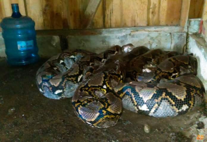Serpiente Pitón Reticulada