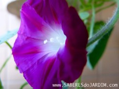 Ipoméia - Ipomoea Purpurea - Trepadeira