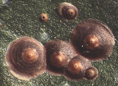 Cochonilha chrysomphalus-ficus
