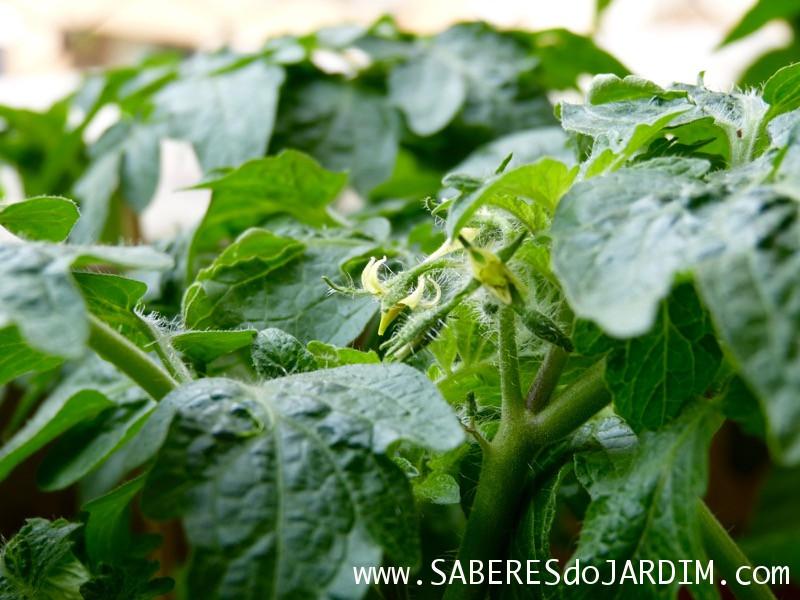 Tomateiro - Tomate - Fungos - Fungicida - Leite