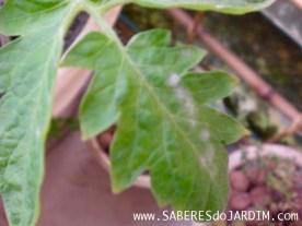 Tomateiro - Tomate - Fungos - Fungicida - Oidium - Leite