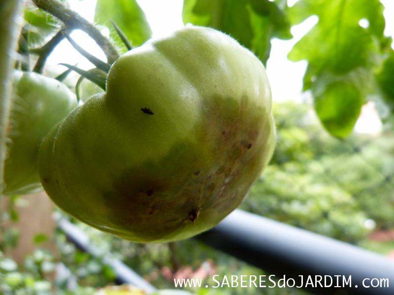Tomateiro - Tomate - Fungos - Podridão Apical - Fungicida - Leite