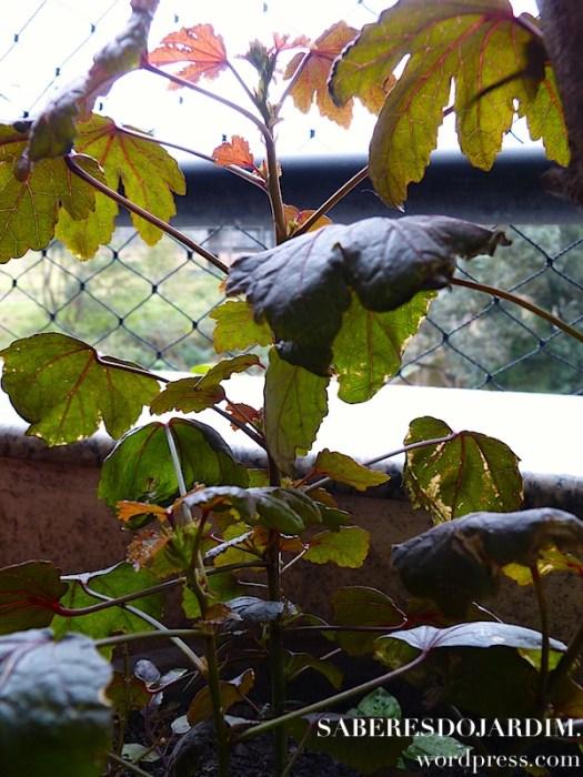 Vinagreira Roxa - Hibiscus acetosella