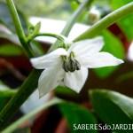 Pimentas de Floricultura