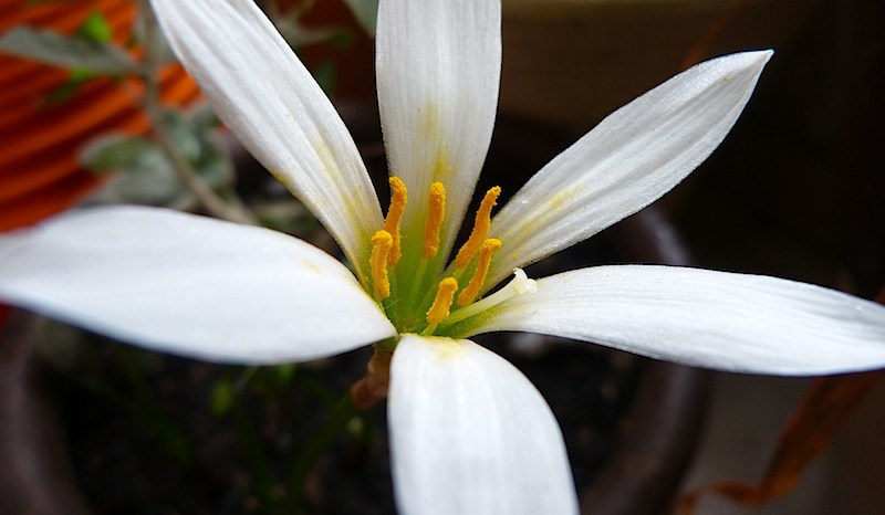 Lírios do Vento (Zephyranthes candida)